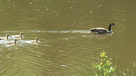 Canada Goose family, Branta Canadensis, couple with goslings swim across lake
