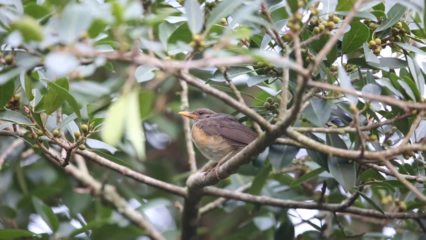 Header of African Thrush