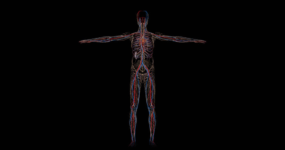 Animation of the circulatory system or cardiovascular system of a human body with lymphatic system, arteries, veins, heart and spleen, gyrating on black background in 4K format