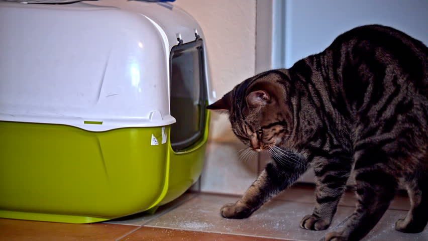Cat put head inside toilet box. Close up view of British breed kitten look carefully inside own toiled box. Green and white box with swinging doors. | Shutterstock HD Video #17474458