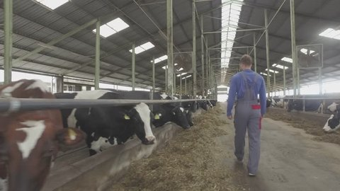 Young farmer checking cows in the cowshed in dairy farm in 4k UHD video.