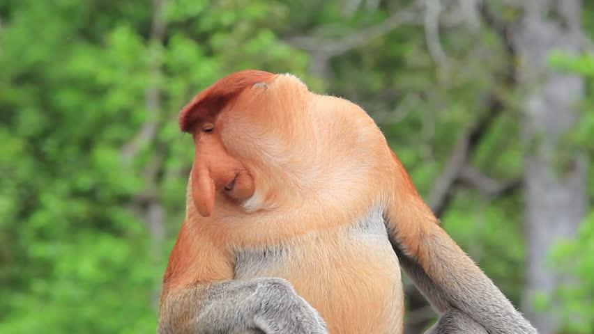 Proboscis Monkey in rainforest of Borneo, Malaysia