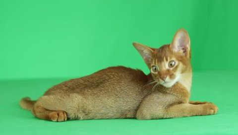 White Grey Abyssinian Cat