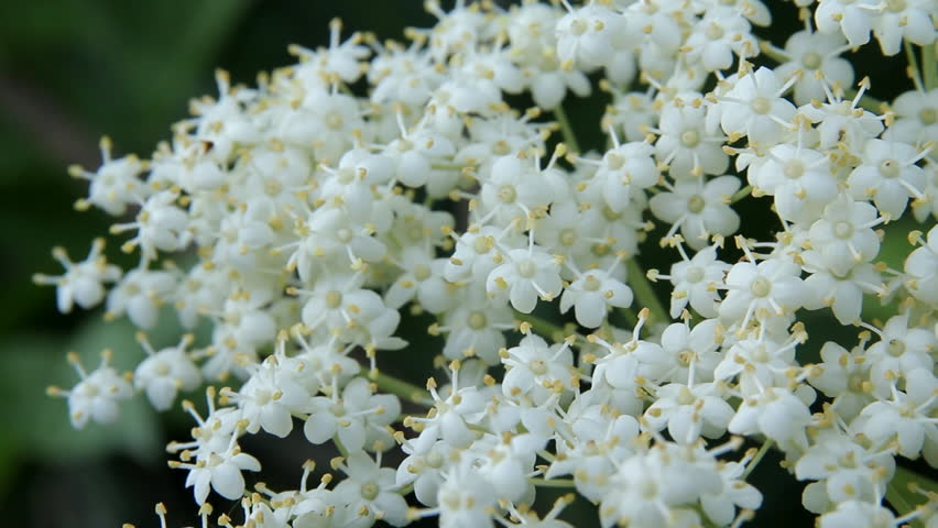 Stock video clip of plant white flowers plant white flowers stock video clip of plant white flowers plant white flowers shutterstock mightylinksfo