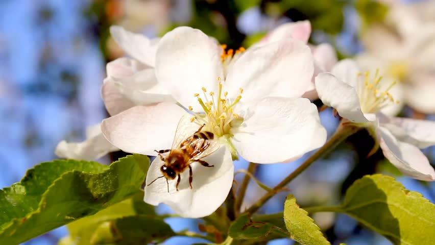 4k blossoming tree, beautiful real video, nature flowers, pinch tree, apple tree, pear tree, 4K version, 3840x2160