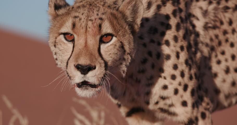 4K Close-up portrait of Cheetah