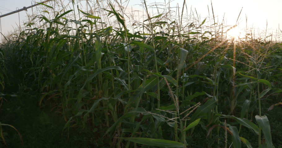 4K Moving shot through large scale commercial corn field with sunrise in the background | Shutterstock HD Video #17620570