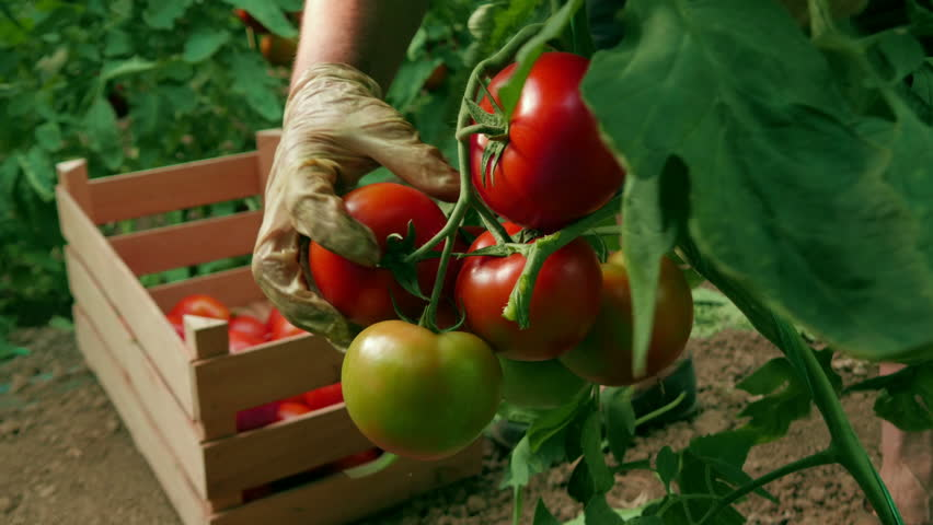 Hand picking tomatoes from the plant and sorting in a wooden box at a greenhouse, close up, low angle view, daylight.