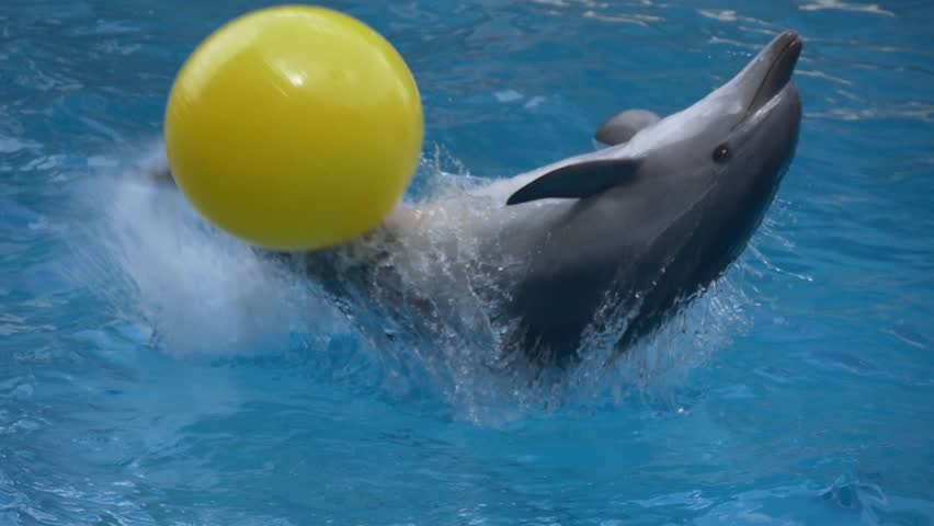 Dolphin throws a yellow ball by hitting it with his tail