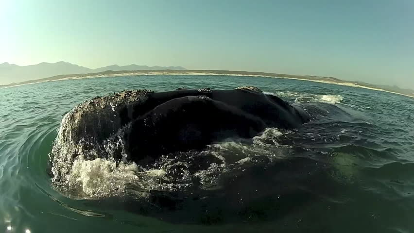 Southern Right Whale Swimming Towards Camera Close Up