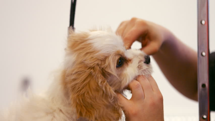 Groomer Examining The Dog In Stock Footage Video 100 Royalty Free