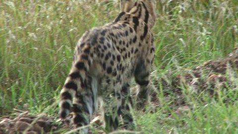 serval cat hunting.