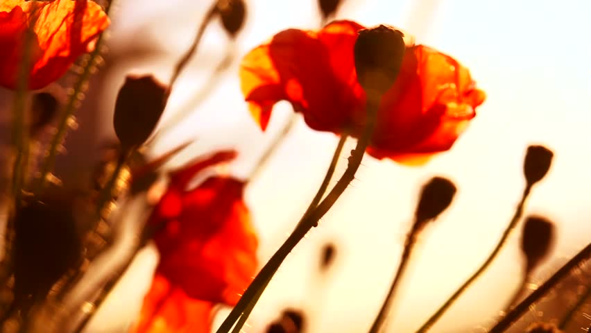 Poppy field. Blooming Poppies. Flowers. Slow motion video footage 1080 full HD