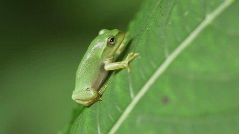 Schlegel's Green Tree Frog (Rhacophorus schlegelii)