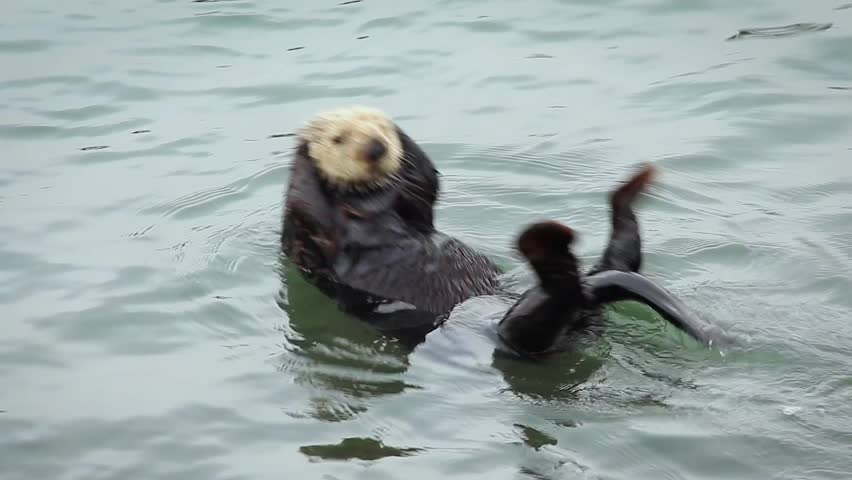 An Endangered Sea Otter plays and rolls around. Cute & adorable wildlife behaviour in the kelp of the Pacific Ocean (California).  | Shutterstock HD Video #17993350