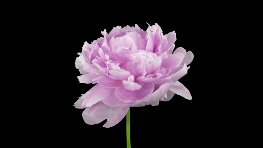 Time-lapse of rotating and dying pink Peony 1c3 in RGB + ALPHA matte format isolated on black background