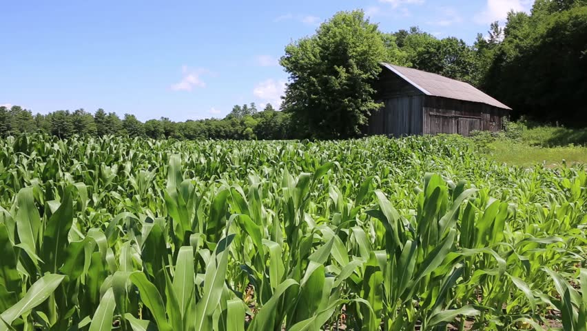 Corn growing in a field on a farm in New Hampshire with an old wooden barn in the background.