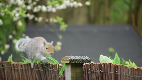 English Squirrel Close-Up on Sunny Day, Shallow Depth of Field