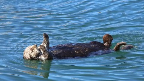 An Endangered Sea Otter sleeps and floats in the water. Cute & adorable wildlife behaviour in the kelp of the Pacific Ocean (California).