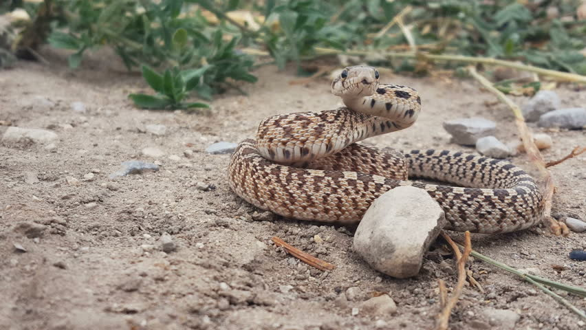 FOUNTAIN GREEN, UTAH - JULY 2016: Great Basin Gopher snake (Pituophis catenifer deserticola) coils up in an aggressive posture with tongue flick in and out and turns around following movement- Closeup