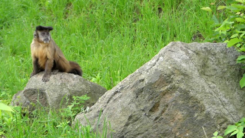 A Capuchin Monkey Sitting on the Ground. the Action in Real Time. | Shutterstock HD Video #18246730