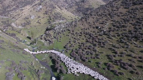 Mustering flock of sheep on high country station in New Zealand
