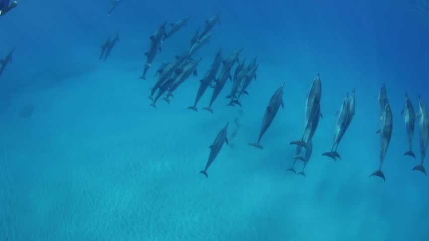 Massive pod of dolphins cruising in Oahu | Shutterstock HD Video #18369340