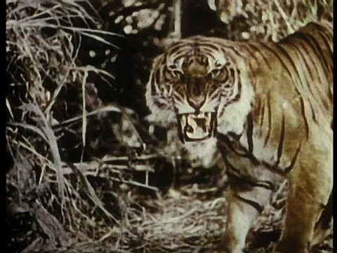 Growling tiger in the jungle
