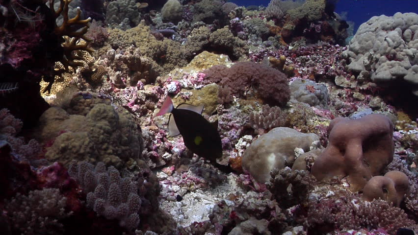 Pinktail triggerfish tending eggs on shallow coral reef, Melichthys vidua HD, UP27897