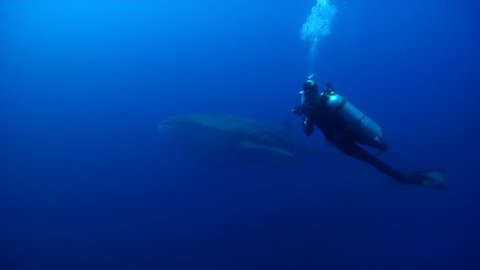 Divers appear briefly in shot swimming in bluewater with Pacific creole-fish Whale shark in Galapagos Islands (Ecuador), HD, UP26315