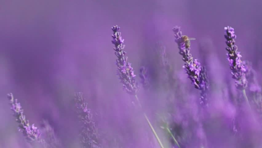 Beautiful Blooming Lavender Flowers swaying in the wind. Close Up. SLOW MOTION 120 fps. Lavender Season on Plateau du Valensole, Provence, South France, Europe. Calm Cinematic Nature Background. | Shutterstock HD Video #18446176