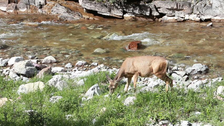 Deer feeding and grazing on meadow grass along mountain river in Waterton, Alberta, Canada. Waterton National Park near Cameron Falls.