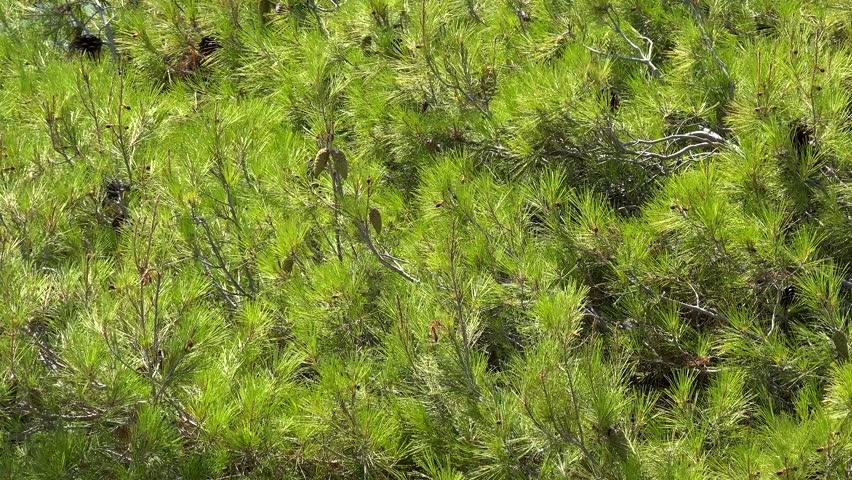 Green cones on the pine branch (Pinus brutia). Chalcidice, Greece