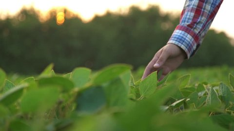 Male farmer's hands in soybean field, responsible farming and dedicated agricultural crop protection, selective focus. Slow motion