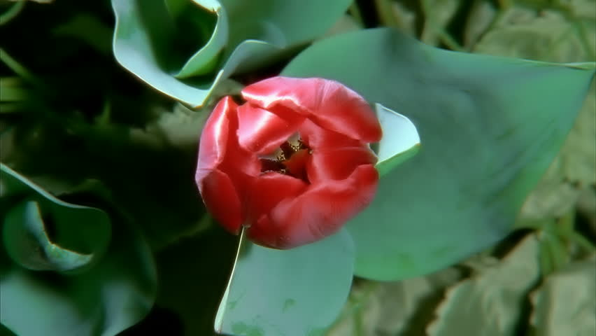 Red Tulip Flower Blooming in Time-lapse (faster)