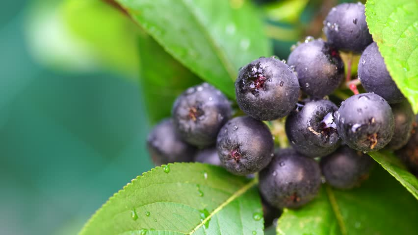 Fruitful ripe aronia berry fruit on the branch. Cluster of chokeberries close up.