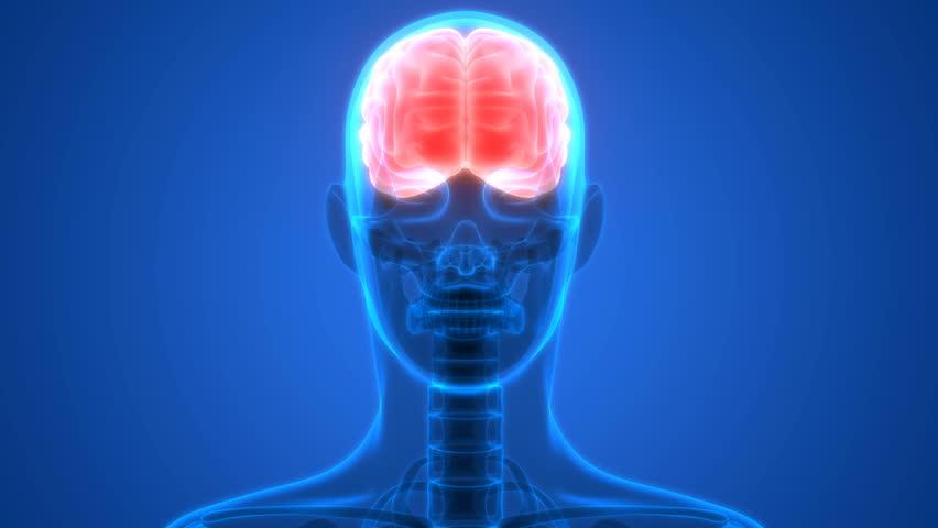 Human brain anatomy video