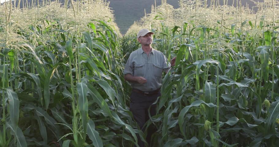 4K Farmer inspecting corn crop | Shutterstock HD Video #18610190
