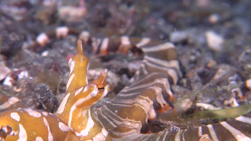 Wonderpus octopus changing colour on muck at dusk, Wunderpus photogenicus HD, UP23657