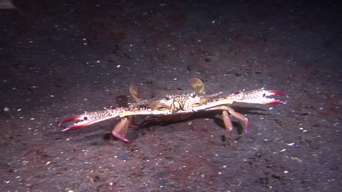 Female adult Blue swimmer crab walking on muck at dusk, Portunus pelagicus HD, UP23664
