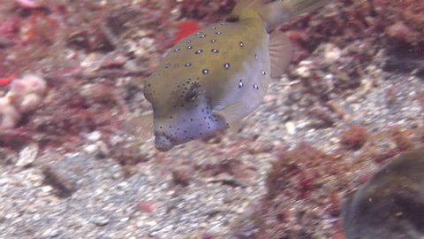Intermediate Yellow boxfish feeding on muck, Ostracion cubicus HD, UP23452