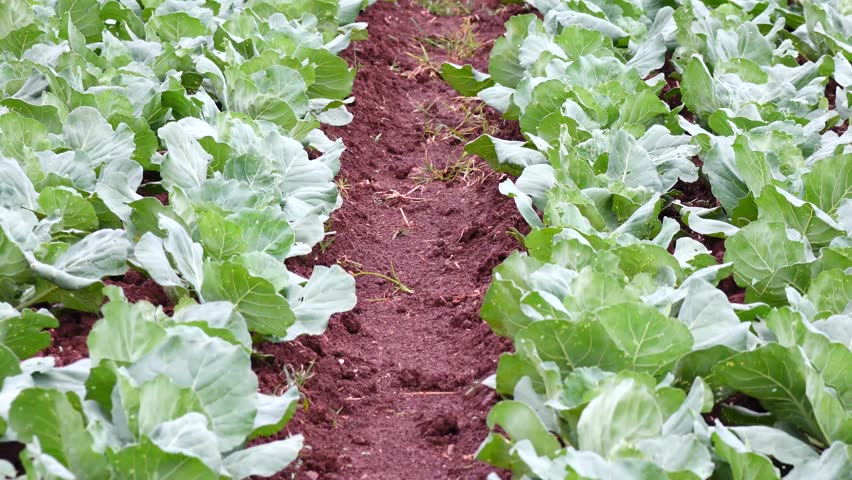 brassica plants article Development of selectable marker free, insect resistant, transgenic mustard (brassica juncea) plants using cre/loxmediated recombination.