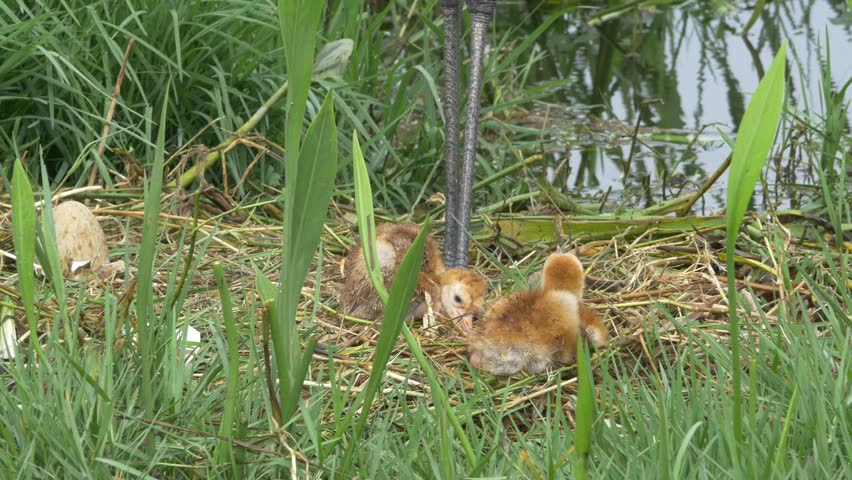 Two Sand HIll Crane Babies Stumbling in Nest While Parents Supervise, 4K