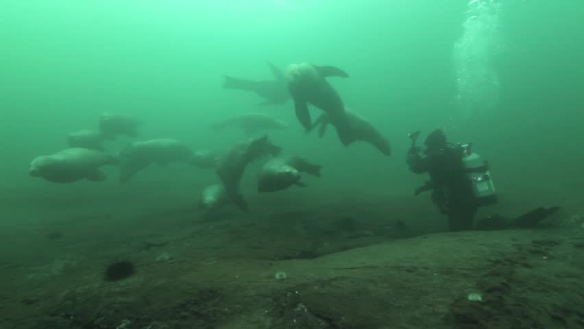 A group of young female Steller sea lions (Eumetopias jubatus) approach divers curiosly and careful.