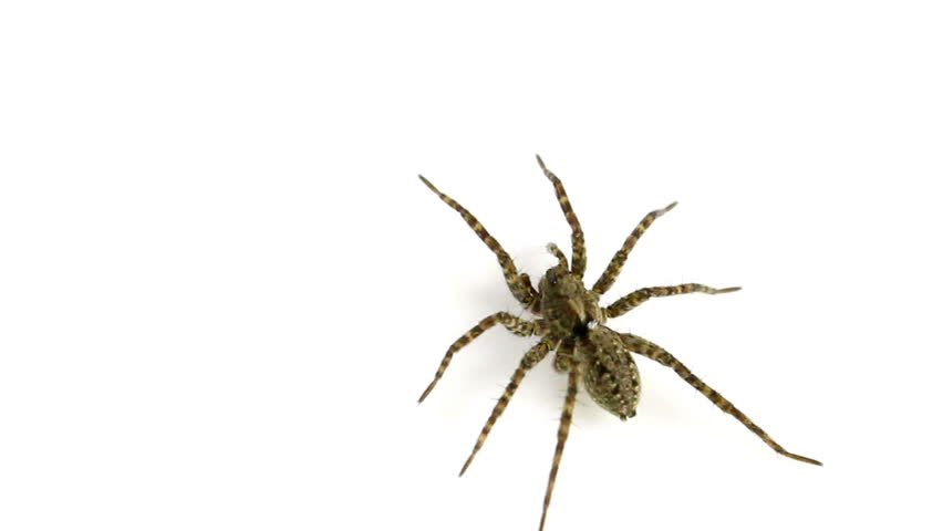 Female Pardosa amentata (Spotted Wolf-Spider) on a white background. This spider is part of the family Lycosidae - Wolf spiders.