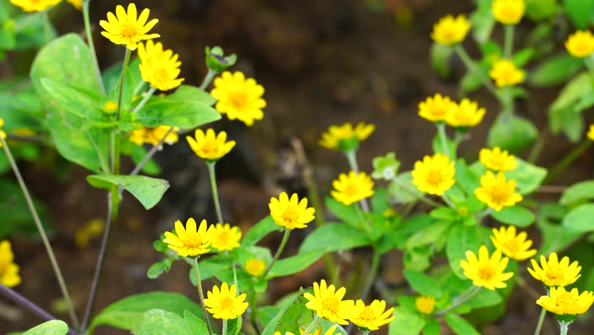 Yellow Flower Buds Golden Currant Stock Footage Video 100 Royalty