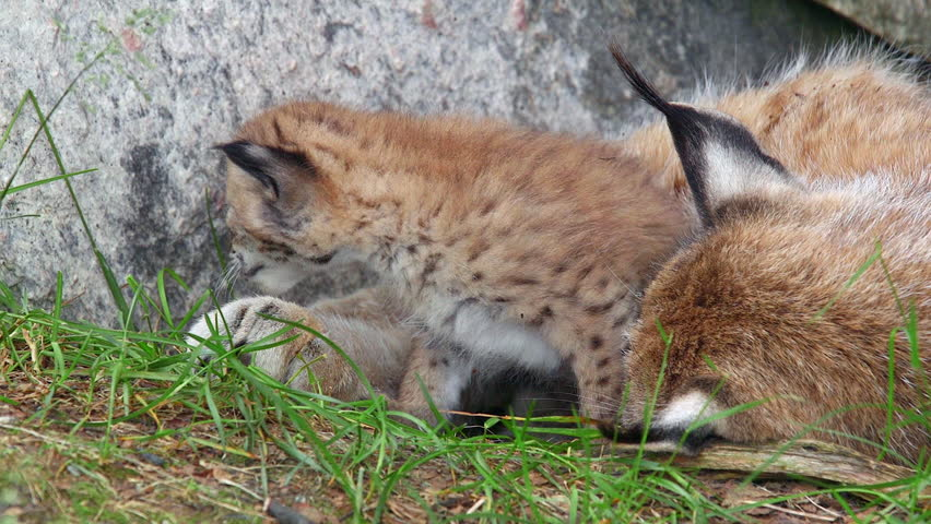 eurasian lynx mother and cub laying tight together cub raise walk away