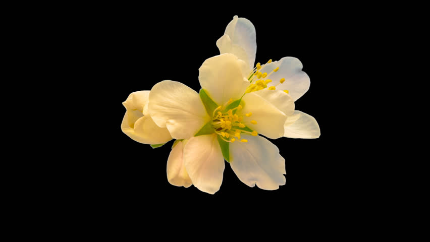 Almond flower blossoming and growing macro timelapse isolated with alpha, encoded with photo-png/Almond flower blossoming macro time lapse/Almond time lapse