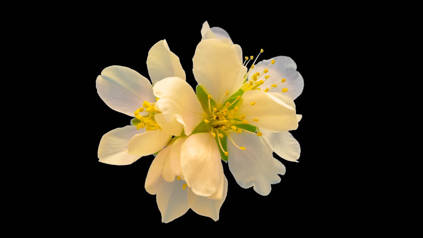Almond flower blossoming and growing macro timelapse isolated with alpha, encoded with photo-png/ Almond flower blossoming macro time lapse