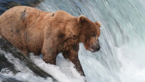 Alaskan brown bear fishing for salmon at Brooks Falls in Katmai National Park, Alaska